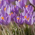 The Crocus Flowers  by Jaroslav Frank