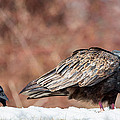 The Crow And Vulture by Bill Wakeley