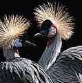 The Crowned Cranes by Joachim G Pinkawa