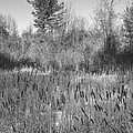 The Dance Of The Cattails Bw by Steve Harrington