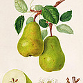 The D'auch Pear by William Hooker