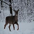 The Deer In The Snow by Debbie Nobile
