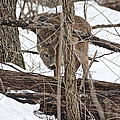 The Doe And The Snow - Odocoileus Virginianus by Mother Nature