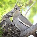 The Dove Family  by Saija  Lehtonen