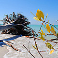 The Driftwood Beach Tree by Jost Houk