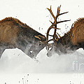 The Duel Of Fighting Elk by Timothy Flanigan