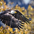The Eagle by Rob Daugherty
