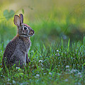 The Eastern Cottontail by Bill Wakeley