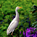The Egret Outside My Window by Patricia Griffin Brett