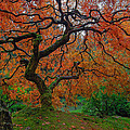 The Famous Tree At Portland Japanese Garden by David Gn
