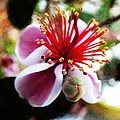the Feijoa Blossom by Steve Taylor