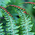 The Fern by Denyse Duhaime