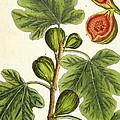 The Fig Tree by Elizabeth Blackwell