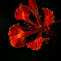 The Fire Flower by Mario Morales Rubi