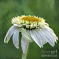 The First Coneflower by Terry Rowe