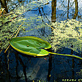 The Floating Leaf Of A Water Lily by Verana Stark