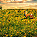 The Fox And The Cow by Bob Orsillo