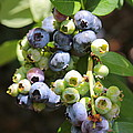The Freshest Blueberries by Carol Groenen