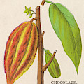 The Fruit Of The Cocoa (or  Chocolate) by Mary Evans Picture Library