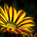 The Gazania by Ernie Echols