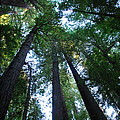 The Giant Redwoods I by Kathy Sampson