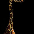 The Giraffe by Saija  Lehtonen