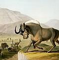 The Gnoo, 1804 by Samuel Daniell