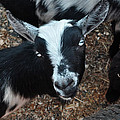 The Goat With The Gorgeous Eyes by Verana Stark