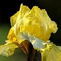 The Golden Iris by Maria Urso