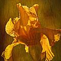 The Golden Iris by Randall Branham