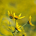 The Golden Wildflowers by Verana Stark