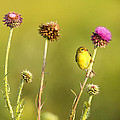 The Goldfinch by Donna Caplinger