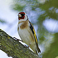 The Goldfinch by Simon Gregory