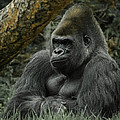 The Gorilla 3 by Ernie Echols