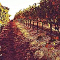 The Grapes Of The Wine Country by Amy Delaine