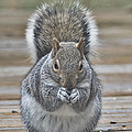 The Gray Squirrel by Diane Hawkins