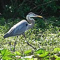 The Great Blue Heron by Cynthia N Couch