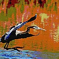 The Great Blue Heron Jumps To Flight by Tom Janca