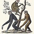 The Great Gibbon by Splendid Art Prints