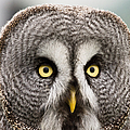The Great Grey Owl  by Scott Carruthers