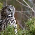 The Great Grey Owl by Torbjorn Swenelius