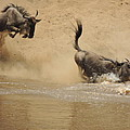 The Great Migration Wildebeest Crossing by Lauren Armstrong