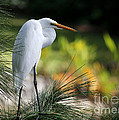 The Great White Egret by Sabrina L Ryan