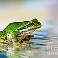 The Green Frog by Robert Bales