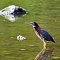 The Green Heron by Maria Urso