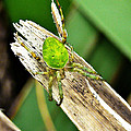 The Green Spider by Steve Taylor