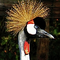The Grey Crowned Crane by Jean Goodwin Brooks