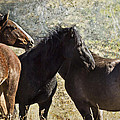 The Group - Pryor Mustangs by Belinda Greb