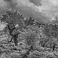The Grouped Cottonwoods  by Mitch Johanson