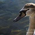 The Haughty Goose  by Donato Iannuzzi